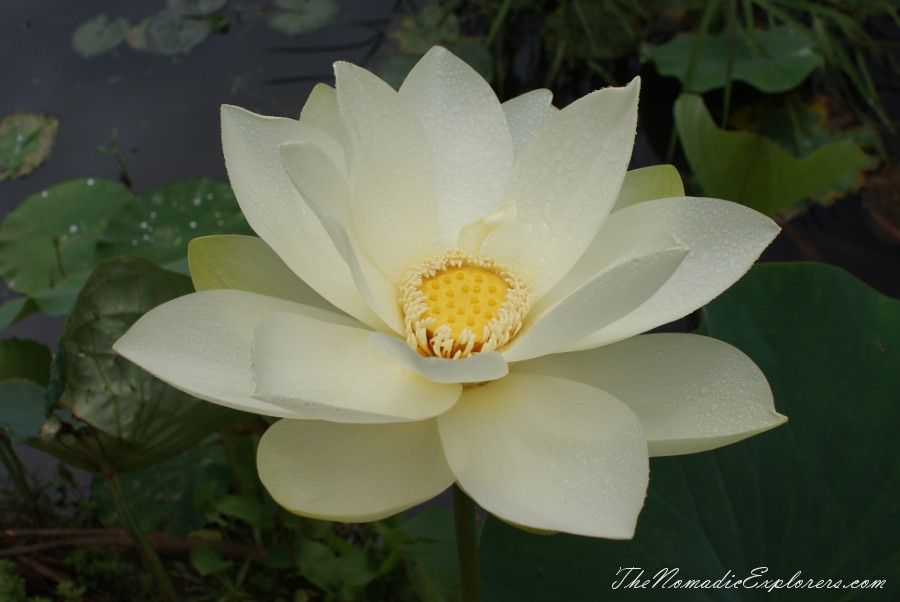 Australia, Victoria, Yarra Valley & Dandenong Ranges, A walk in Blue Lotus Water Gardens, ,