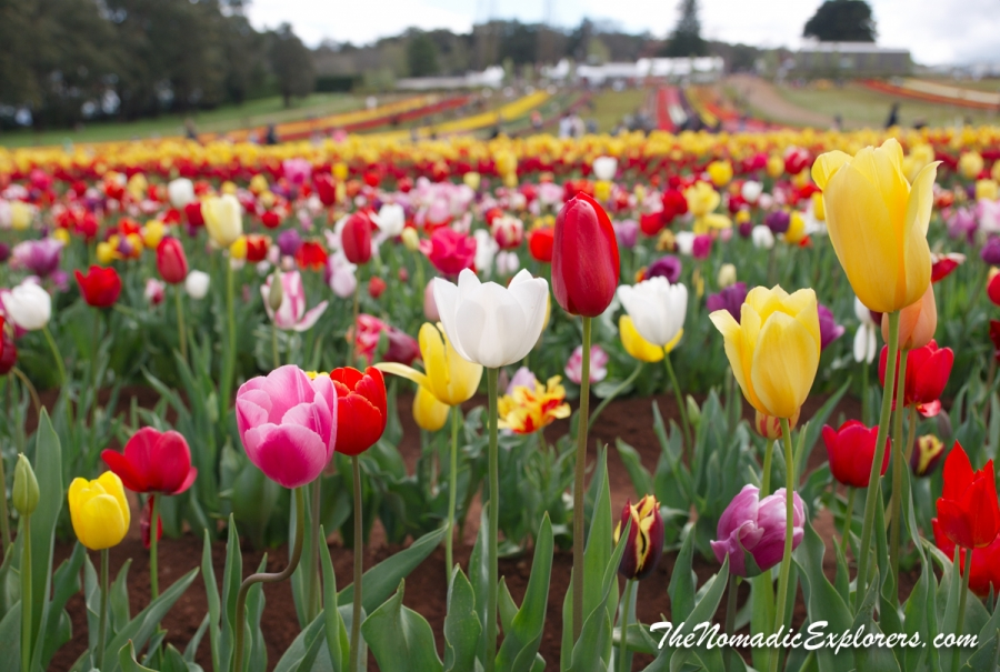 Australia, Victoria, Yarra Valley & Dandenong Ranges, Фестиваль тюльпанов Tesselaar Tulip Festival, Australia, Victoria, Yarra Valley & Dandenong Ranges, Tesselaar Tulip Festival