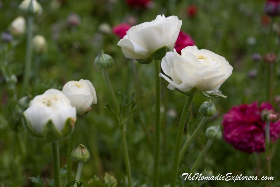 Australia, Victoria, Yarra Valley & Dandenong Ranges, Tesselaar Tulip Festival, ,