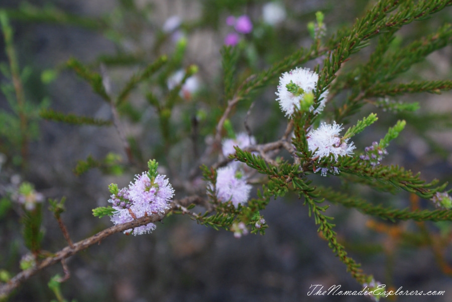 Australia, Western Australia, South West, Western Australia Trip. Day 4. Wildflowers in Fitzgerald River National Park, ,