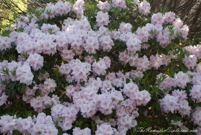 Australia, Victoria, Yarra Valley & Dandenong Ranges, Looking for sakura in the National Rhododendron Gardens, Olinda, ,