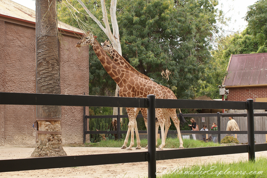 Australia, South Australia, Adelaide City, Зоопарк Аделаиды (Adelaide Zoo), Australia, South Australia, Adelaide City, Adelaide Zoo