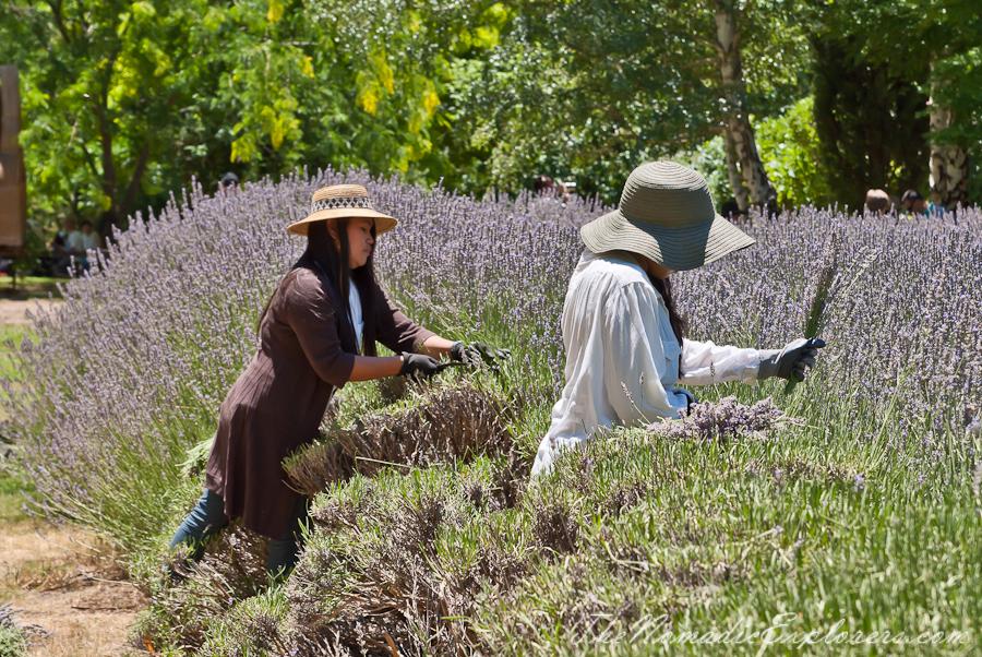 Australia, Victoria, Daylesford & the Macedon Ranges, Lavender Harvest Festival at Lavandula Swiss Italian Farm, ,