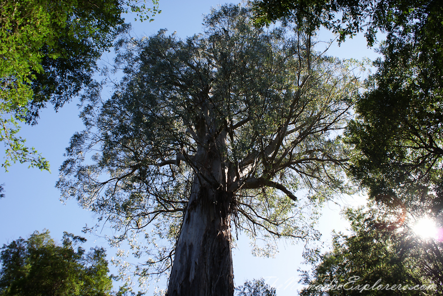 Australia, Victoria, Yarra Valley & Dandenong Ranges, Warburton Hidden Treasures: La La Falls and Ada Tree , ,